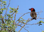 Black-collared barbet (photo by Clare) - Kruger National Park