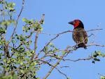 Black-collared barbet (photo by Clare) - Kruger National Park