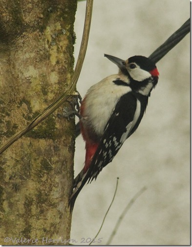 Great-Spotted-Woodpecker-1