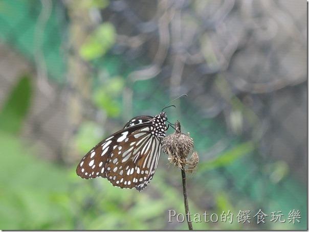 菁寮國小的蝴蝶園-絹斑蝶2