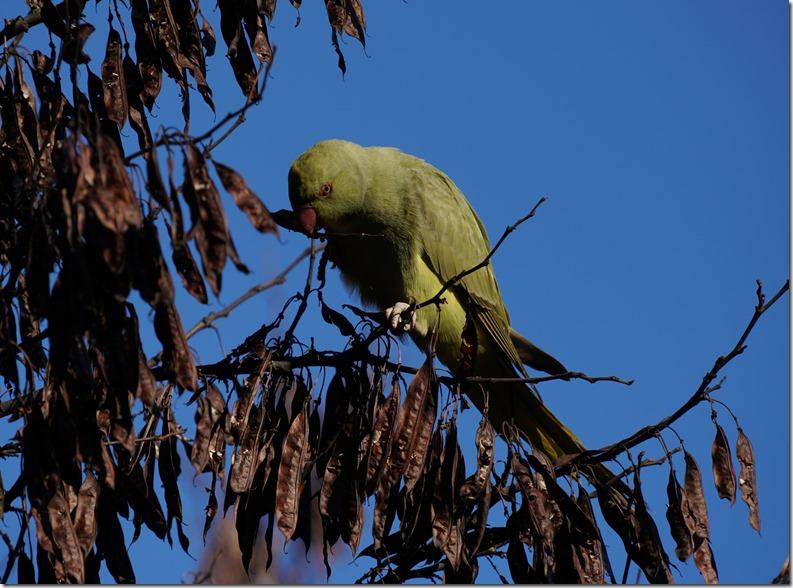 paris parrot 112215 00010