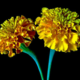 Marigold by Asif Bora - Instagram & Mobile Other