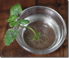1425810962-lemon-balm-root-cuttings