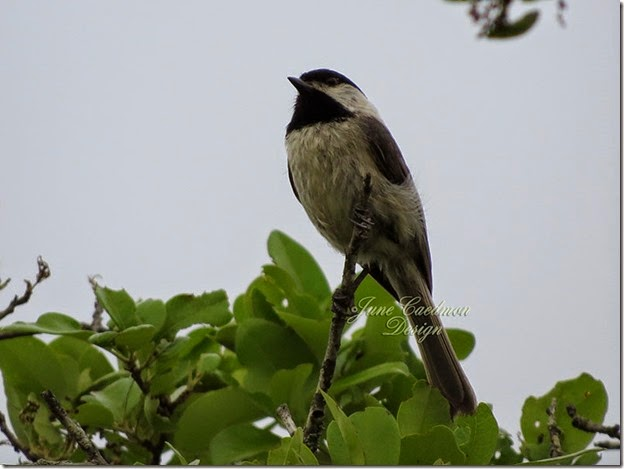 Carolina_Chickadee1