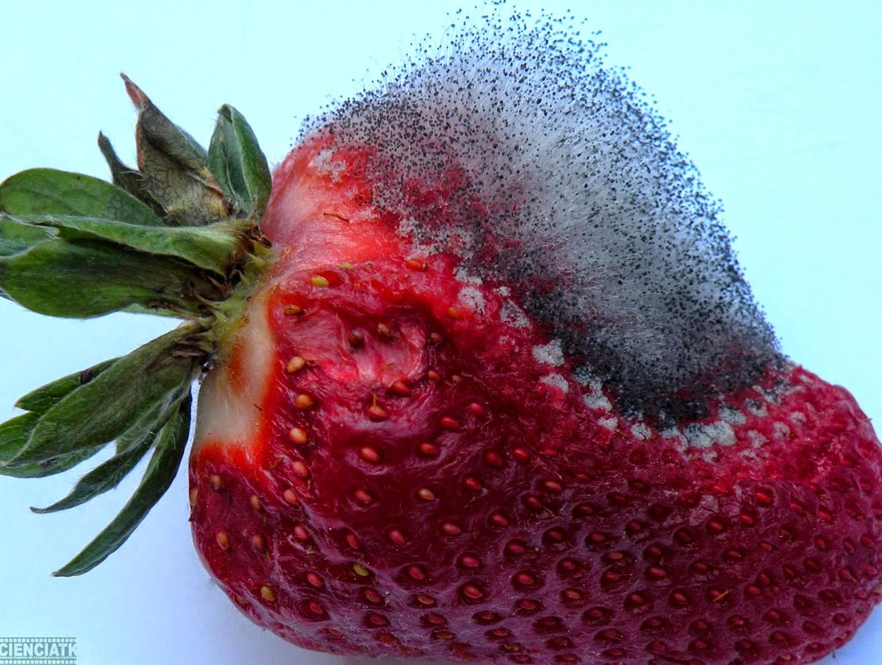 Blog de ciencias esporangios de moho en fresas - El moho es un hongo ...
