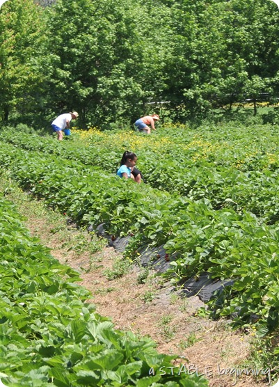 Strawberry picking 021