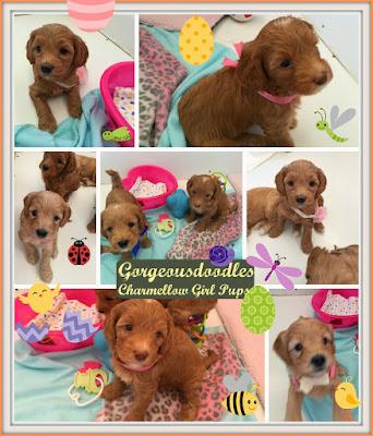 Gorgeousdoodles Australian Labradoodles Puppies