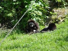 201506.21-081 gibbons