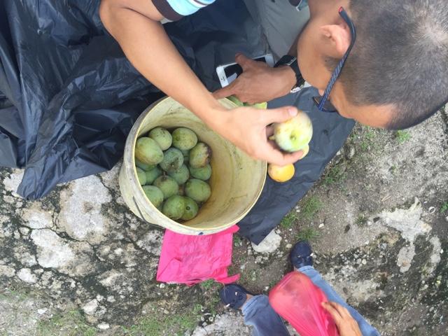 balik kampung, buah mangga, petik mangga
