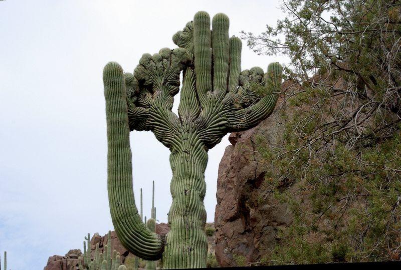crested-saguaros-7