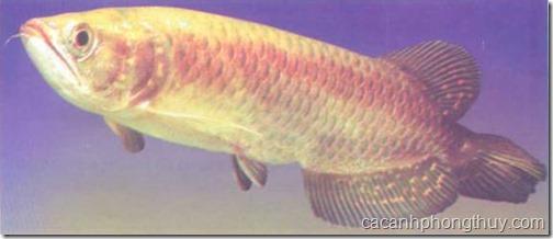 Cá rồng trân châu châu úc
