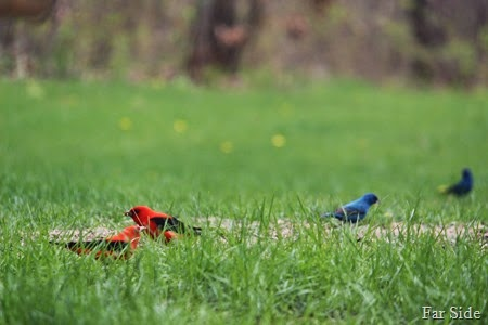Scarlet Tanagers and Indigo Buntings
