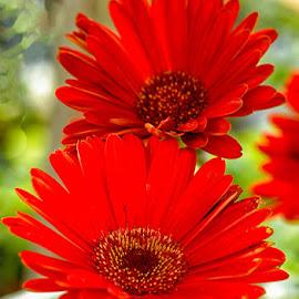 Red pair by Radu Eftimie - Flowers Single Flower ( red, two, flower )