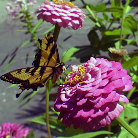 The Life of a Butterfly by Tammy Pressley - Nature Up Close Other Natural Objects ( cycle, butterfly, life, wings, butterfly garden, yellow and black,  )