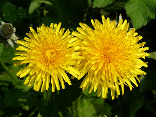 The photos in this album are from several visits to the Bluebell Woods at Snelston near Ashbourne during a later than normal Easter 2011. This is a couple of Dandelions. They may be a weed but they are nice and colourful.