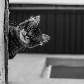 Sultan by Dumitru Ionut Vasiliu - Animals - Cats Portraits ( contrast, looking, blackandwhite, cat, lookinatcamera, no people, pets, babycat, feline, close-up )