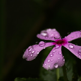 D R O P L E T S . . . by Anuvab Ghosh - Nature Up Close Natural Waterdrops ( canon, rainy, bright, zoom, snap, dark background, blur, leaves, photography, droplets, clear, eos, macro, tree, nature, awesome, single flower, dark, cloudy, nature up close, flower, rain, petal, wonderful, water, water drops, purple, camera, beautiful, pixoto, crystal, waterdrops, photo, close up, purple flower, natural beauty, picture, amazing, drops, rain drops, natural, daylight )