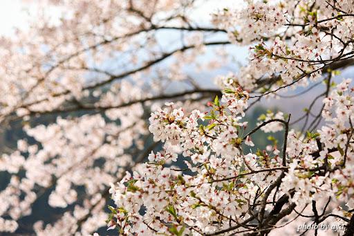 三春の桜 3