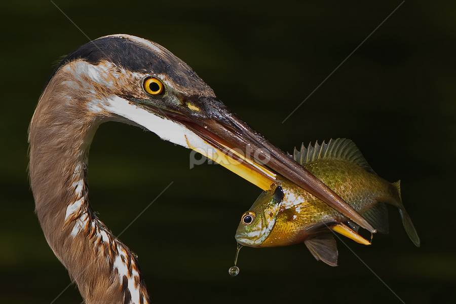 Great Blue Heron and Bluegill by Herb Houghton - Animals Birds ( bluegill, wading bird, fish, heron, egret )