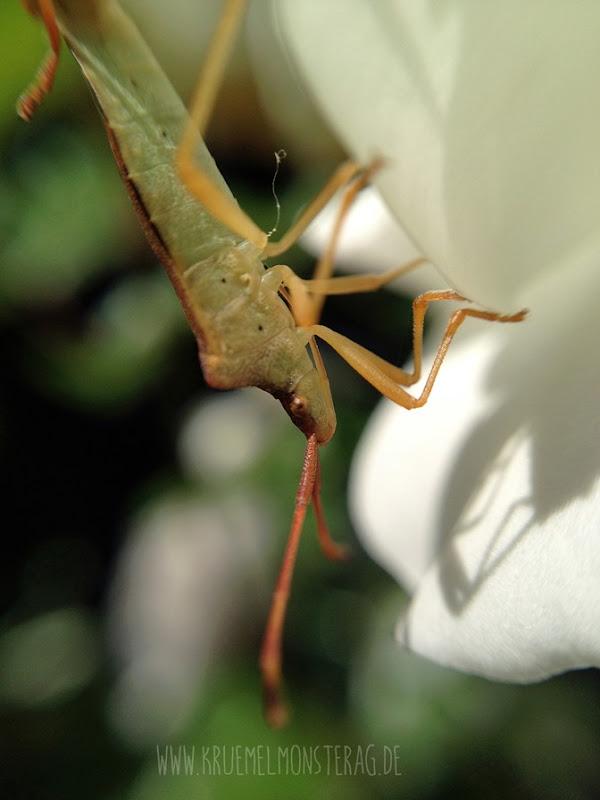 OllOgrafie (Sch)Käferstündchen (04)