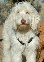 Sabastion is Gorgeousdooles foundation Grand Sire of our Doodle family. Sire Jeffrow's father and Ruben's Grandfather.
