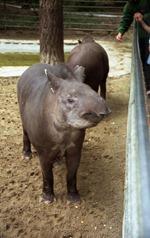1992.07.06-103.05 tapirs