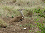 Kori bustard (photo by Clare) - Kruger National Park