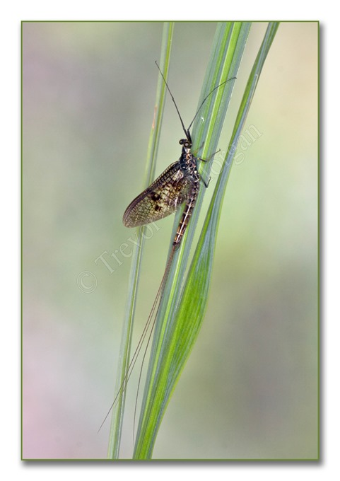 2 Bugs 5  Mayfly