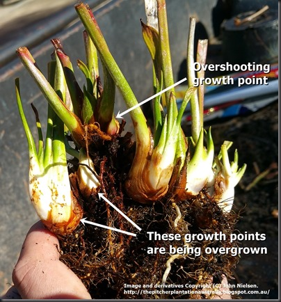 Overcutting growth point on rhizome