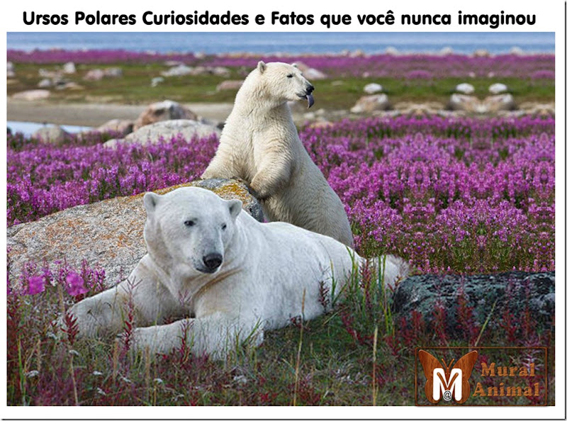 ursos-polares-curiosidades