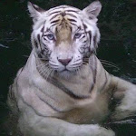 Photo of White Tiger at Singapore Zoo. It is one of the most popular animals at the Zoo.
