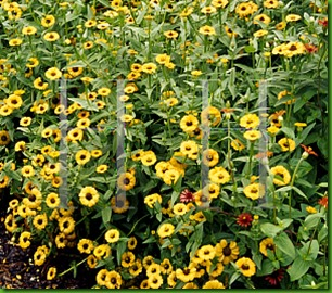 Zinnia peruviana amarela