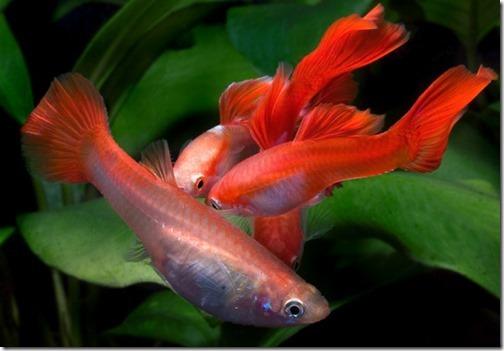 ha-noi-ca-xinh-ban-ca-bay-mau-orange-guppy-8