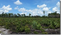 Scrub plants and palmettos