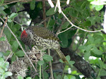Knysna woodpecker at de Hoop Reserve (photo by Clare)