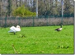 5 swan menacing goose