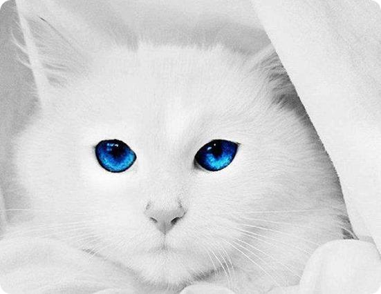 Gatinho Branco - Olhos Arcanjo Miguel
