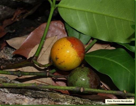 Lacmellea panamensis 1_thumb[1]