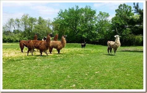 Llama, Shearing