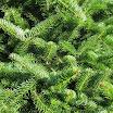 balsam_fir_foliage09.jpg