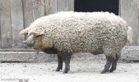 conheca-mangalitsa-o-porco-ovelha
