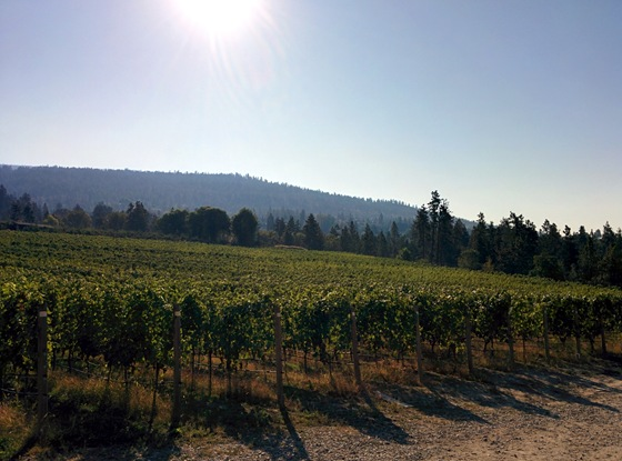 Perfectly aligned vineyard rows bask under the morning sun at Serendipity