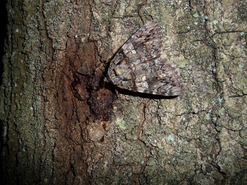 moth-sugaring