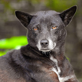 Alert by Asif Bora - Animals - Dogs Portraits