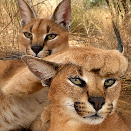 Friends by Andraž Bilmez - Animals Lions, Tigers & Big Cats ( cats, caracals, africa, portrait, namibia )