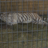 A white tiger exhibit at the Navy Pier in Chicago 01152012f