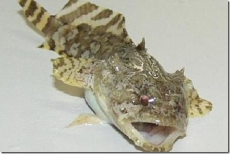 be-ca-canh-frog_fish_grunting_toadfish_camangech001-be-thuy-sinh