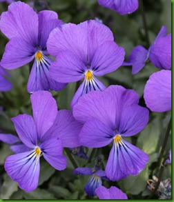 Viola corsica
