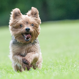 by Michael  M Sweeney - Animals - Dogs Running ( d3, puppy, michael m sweeney, run, dog, nikon )