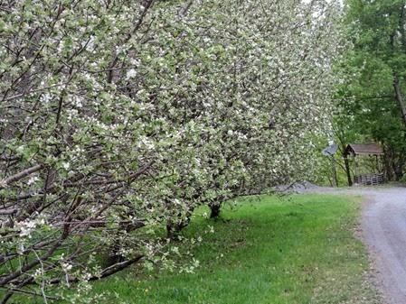 20150510_151117-apple-blossom